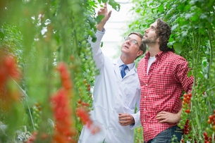 Food scientist and grower looking up inspecting tomato plants in greenhouseの写真素材 [FYI02692522]