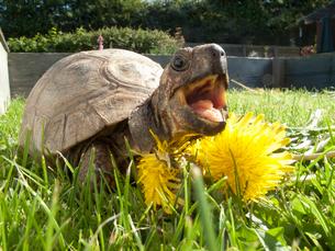 Turtle in grass eating dandelionの写真素材 [FYI02692560]
