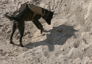 A military working dog searches an area for simulated explosの写真素材 [FYI02692592]