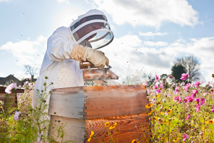 Beekeeper using smoker to check beehives in field full of flowersの写真素材 [FYI02692662]