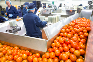 Ripe red tomatoes on production line in food processing plantの写真素材 [FYI02692720]