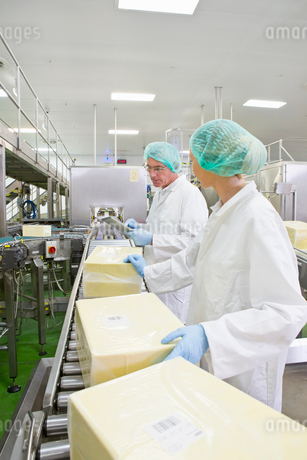 Workers handling large blocks of cheese at production line in processing plantの写真素材 [FYI02693284]