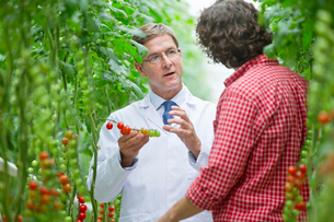 Food scientist and grower examining tomatoes ripening on vineの写真素材 [FYI02693289]