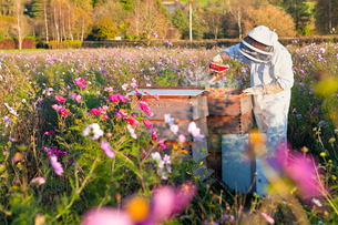 Beekeeper using smoker to check beehives in field full of flowersの写真素材 [FYI02693360]