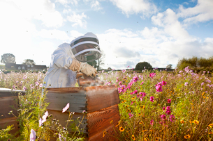 Beekeeper using smoker to check beehives in field full of flowersの写真素材 [FYI02693414]