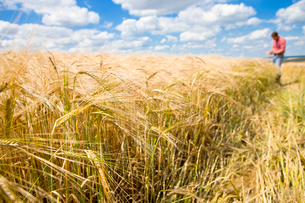 Sunny rural barley crop field in summer with farmer in backgroundの写真素材 [FYI02693483]