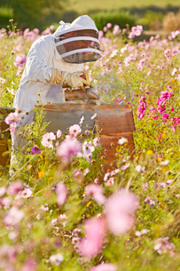Beekeeper using smoker to check beehives in field full of flowersの写真素材 [FYI02693484]