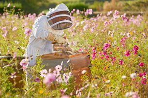 Beekeeper using smoker to check beehives in field full of flowersの写真素材 [FYI02693543]