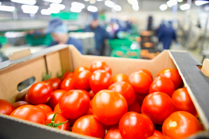 Close up ripe red tomatoes packed in box in food processing plantの写真素材 [FYI02693662]