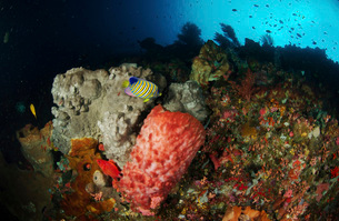 Colorful sea wall with regal angelfish and barrel sponges.の写真素材 [FYI02693937]