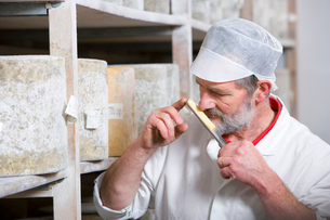 Cheese maker smelling sample of farmhouse cheddar on cheese ironの写真素材 [FYI02694039]