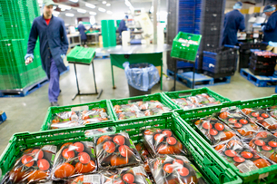 Packaged tomatoes in bin in food processing plantの写真素材 [FYI02694068]
