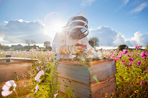 Beekeeper using smoker to check beehives in field full of flowersの写真素材 [FYI02694117]
