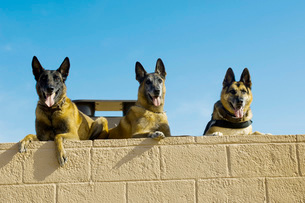 German Shephard military working dogs take a rest.の写真素材 [FYI02694178]