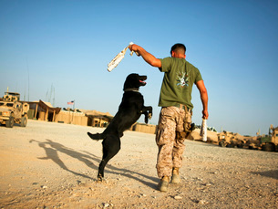 A military working dog handler conducts physical training in Afghanistan.の写真素材 [FYI02696134]