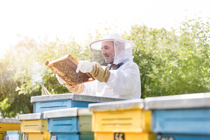 Beekeeper in protective suit examining bees on honeycombの写真素材 [FYI02696999]