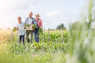 Grandparents and grandson harvesting vegetables in sunny gardenの写真素材 [FYI02697015]