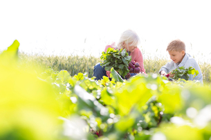 Grandmother and grandson harvesting vegetables in sunny gardenの写真素材 [FYI02697028]