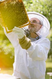 Beekeeper in protective suit examining bees on honeycombの写真素材 [FYI02697601]