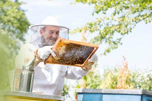 Beekeeper in protective suit examining bees on honeycombの写真素材 [FYI02697840]