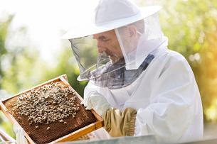 Beekeeper in protective suit examining bees on honeycombの写真素材 [FYI02698431]