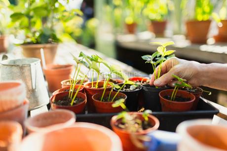 Woman potting plants in greenhouseの写真素材 [FYI02698962]