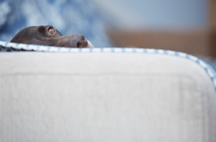 Portrait dog laying on sofaの写真素材 [FYI02698975]