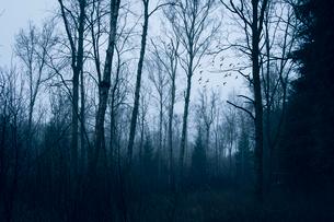 Birds flying beyond winter forest trees, Naestved, Denmarkの写真素材 [FYI02698993]