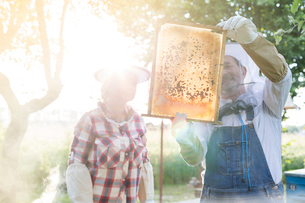 Beekeepers examining sunny bees on honeycombの写真素材 [FYI02699074]