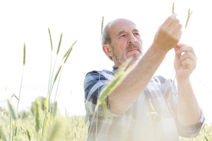 Serious farmer examining rural wheat stalk cropの写真素材 [FYI02699289]