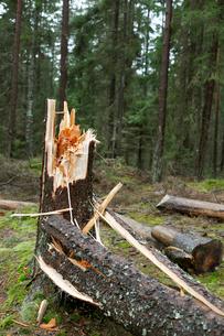 Sweden, Vastra Gotaland, Broken tree in forestの写真素材 [FYI02699474]