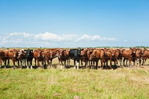 Segerstad, Oland, Sweden, Cattle behind fenceの写真素材 [FYI02699575]