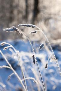 Sweden, Vastergotland, Tarby, Frost on grassの写真素材 [FYI02699651]