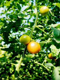 Sweden, Oland, Close up of tomato plantの写真素材 [FYI02699678]