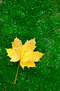 Sweden, Vastergotland, Autumn leaf lying on grassの写真素材 [FYI02699686]
