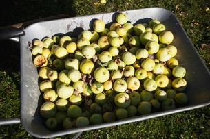 Finland, Forssa, Apples in wheelbarrowの写真素材 [FYI02699819]
