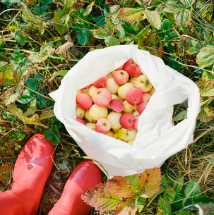Finland, Ostra Nyland, Lapptrask, Woman standing among appleの写真素材 [FYI02699924]