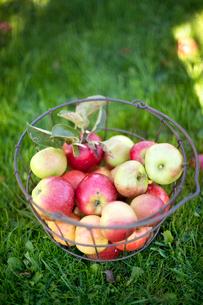 Sweden, Oland, Allvaret, Close-up of appleの写真素材 [FYI02699951]