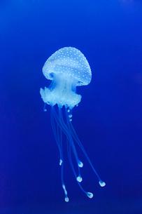Sweden, Bohuslan, Tjorn, Tranquil view of jellyfish swimmingの写真素材 [FYI02700030]