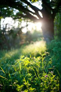 Sweden, Uppland, ingaro, Garden illuminated with morning ligの写真素材 [FYI02700106]