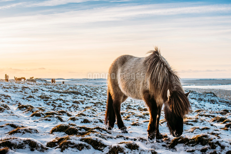 Wild horse grazing in snow covered landscape, Hofn, Icelandの写真素材 [FYI02700269]