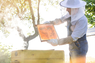 Beekeeper in protective clothing examining bees on honeycombの写真素材 [FYI02700300]