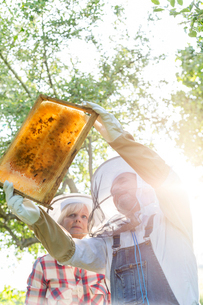 Beekeepers in protective clothing examining bees on honeycombの写真素材 [FYI02700368]