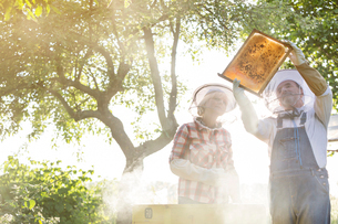 Beekeepers in protective hats examining bees on honeycombの写真素材 [FYI02700450]