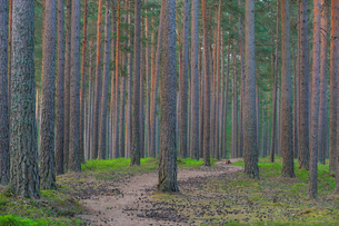 Sweden, Sodermanland, Nacka, Pine tree forestの写真素材 [FYI02700515]