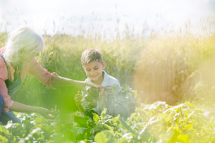 Grandmother and grandson harvesting vegetables in sunny gardenの写真素材 [FYI02700960]
