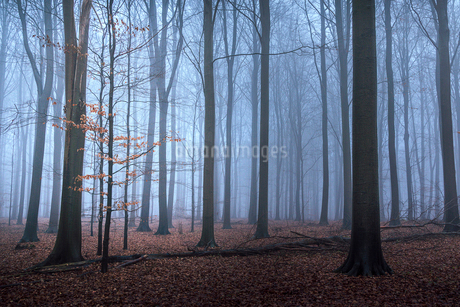 Autumn leaves on small tree and forest floor, Naestved, Denmarkの写真素材 [FYI02701027]