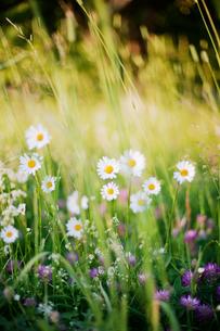 Sweden, Uppland, ingaro, Wildflowers growing in meadowの写真素材 [FYI02701219]