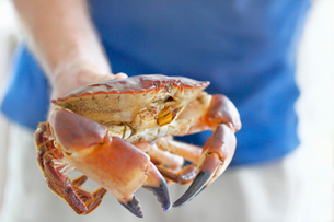 Sweden, Bohuslan, Tjorn, Close-up of hand holding crabの写真素材 [FYI02701309]