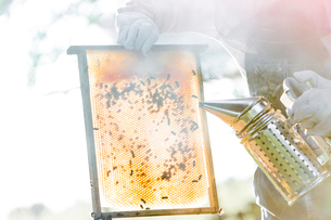 Beekeeper using smoker to calm bees on honeycombの写真素材 [FYI02701563]